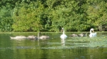 This unusually large swan family had 6 cygnets (term for baby swan).