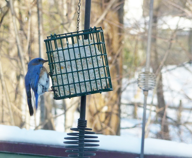 bluebird on suet