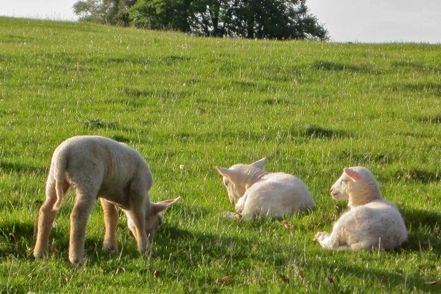 lambs-grazing