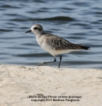 Black Bellied Plover in winter plumage
