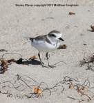 This snowy plover is the size of a ping pong ball! They are endangered due to beachfront development.