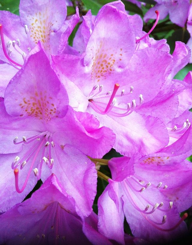 beasone.org a fairyland of rhododendron