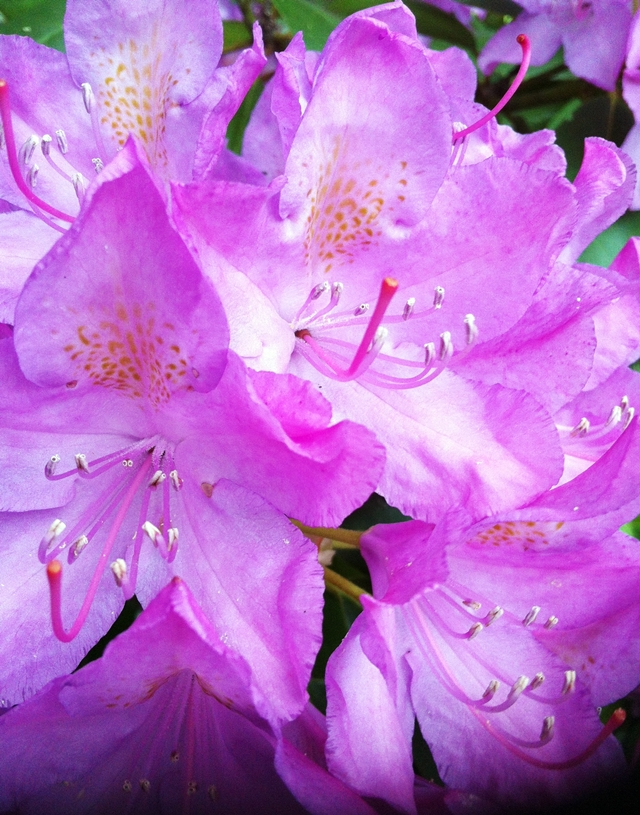 pink rhododendron from Wellesley College