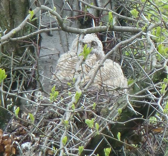 owlets mt auburn 05-2011-1