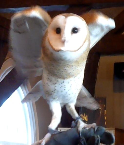 barn owl4