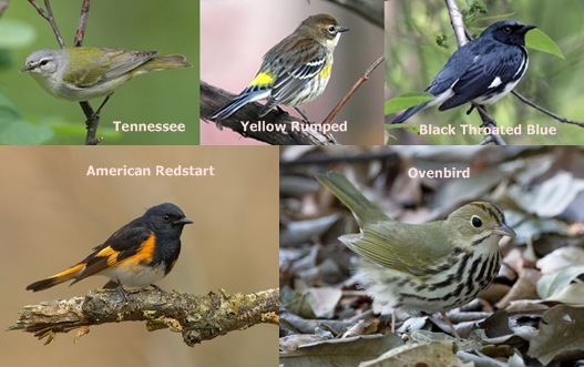 tennessee yellow rumped black throated blue redstart ovenbird