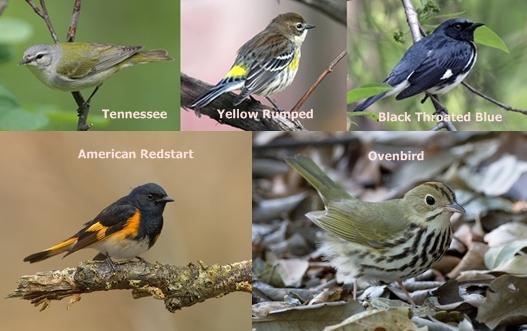 tennessee yellow rumped black throated blue redstart ovenbird