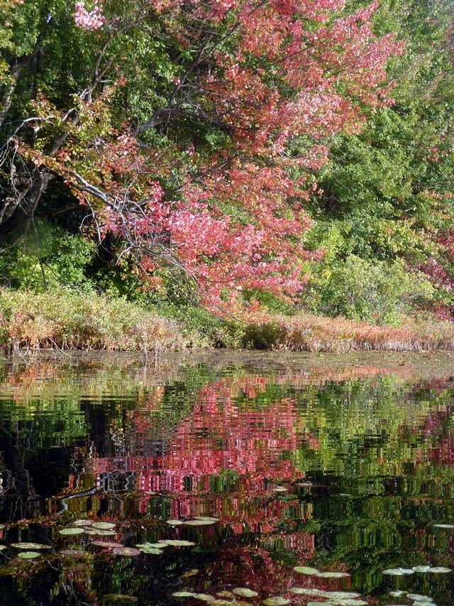 4-640 red tree at rocky pond