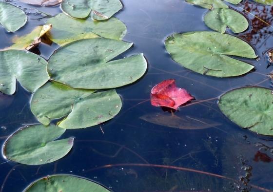 5-640 floating red leaf