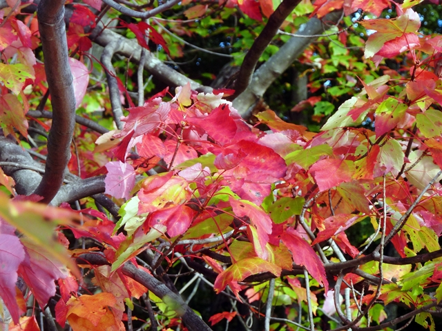 6-640 red leaves and blueberries