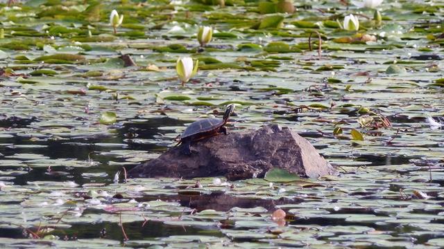 640 turtle