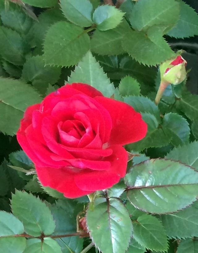 roses-640