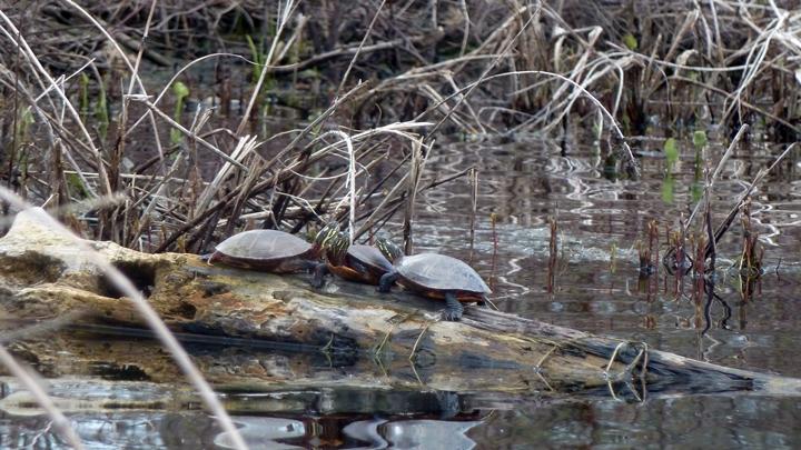 turtles1-720