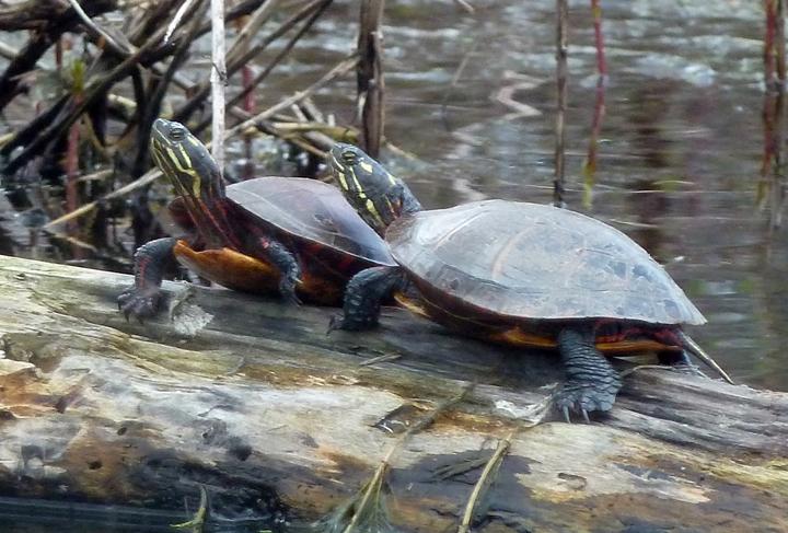 turtles3-720
