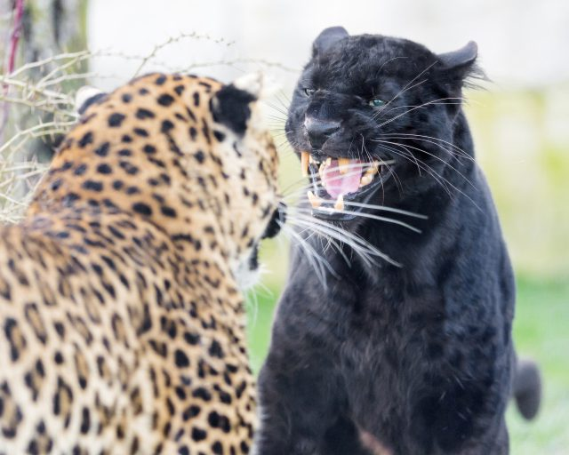 Tambako The Jaguar Confrontation, Flickr Creative Commons